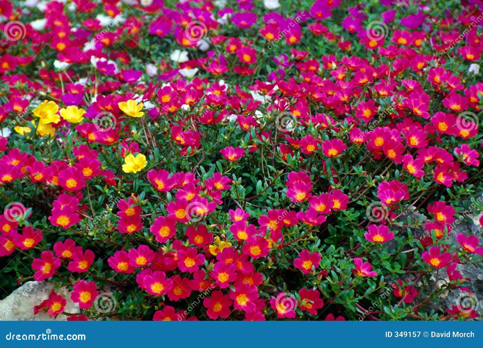 Fleurs roses de jardin photographie stock libre de droits for Le jardin des fleurs