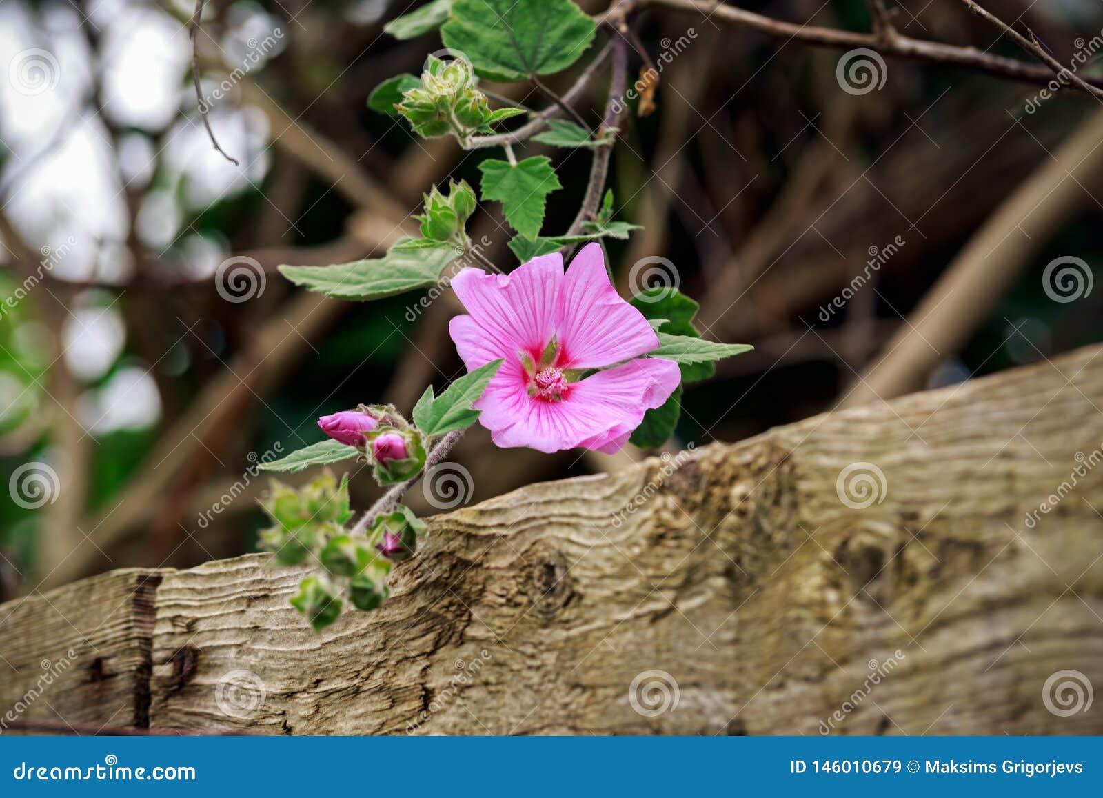 Fleurs roses de lavatera accrochant au-dessus de la barrière en bois, foyer choisi