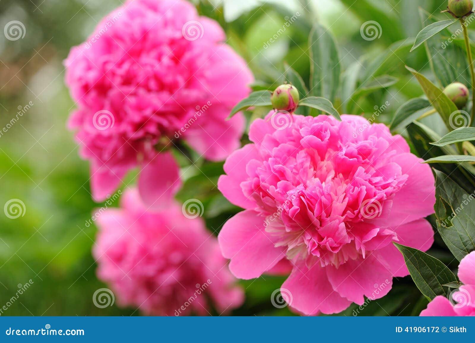 fleurs roses de pivoine avec des bourgeons dans le jardin photo stock image du pivoine flore. Black Bedroom Furniture Sets. Home Design Ideas