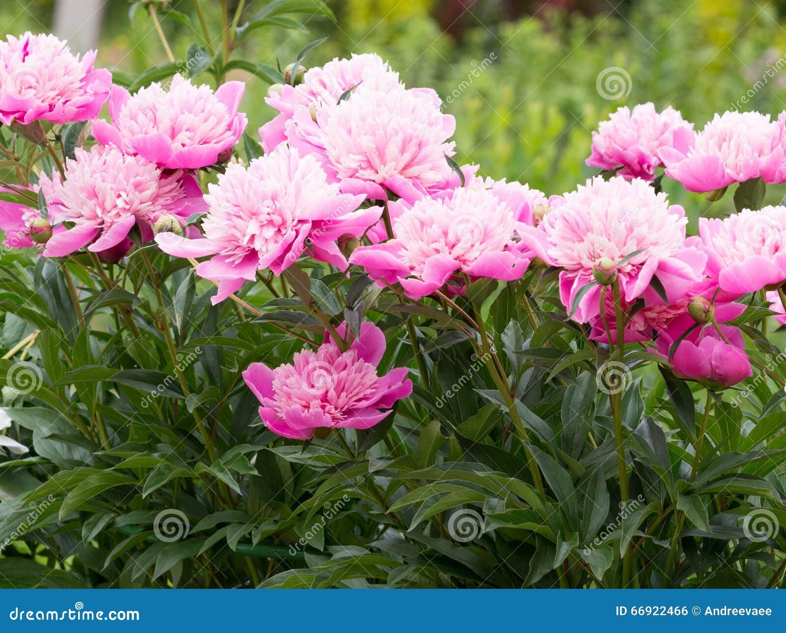 Fleurs roses de pivoines dans le jardin photo stock Fleurs pivoines