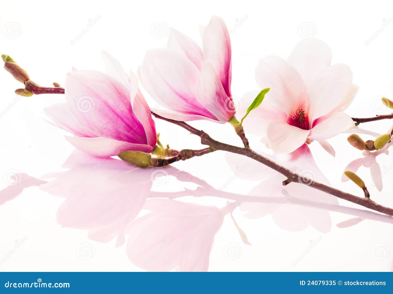 Fleurs roses de source avec la réflexion