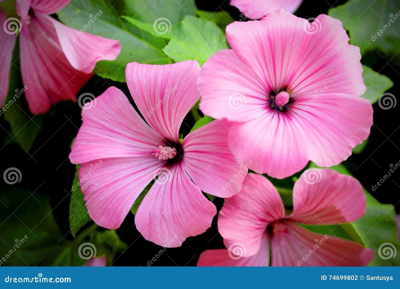 fleur annuelle rose