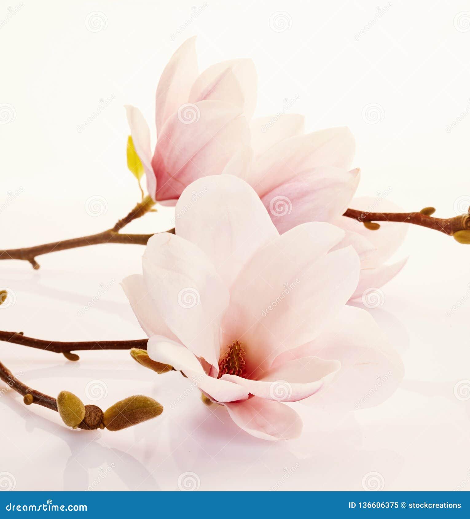 Fleurs roses fraîches parfumées de magnolia
