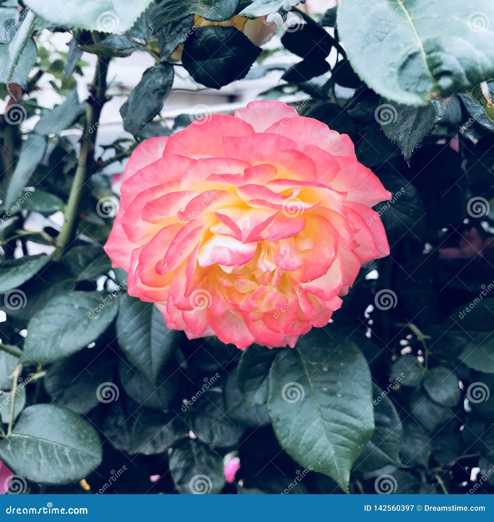 Fleurs roses sensibles, cintrant et souriant