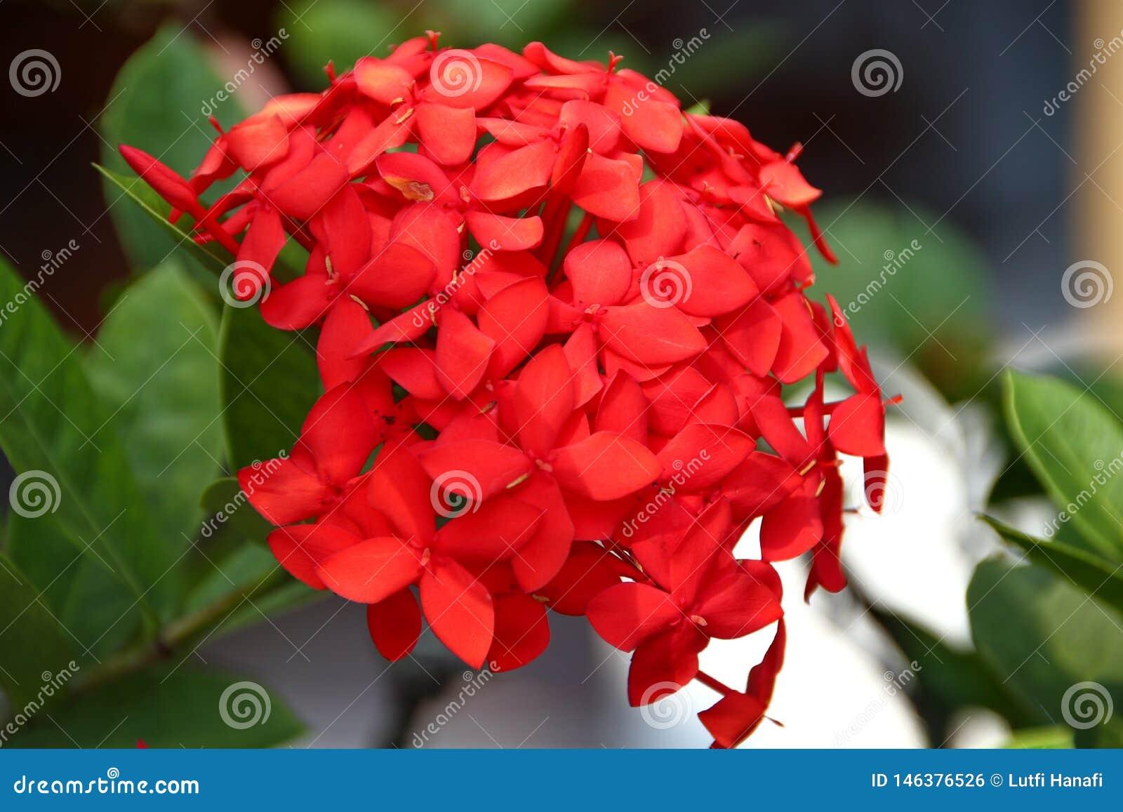 Fleurs rouges d hortensia de stupéfaction