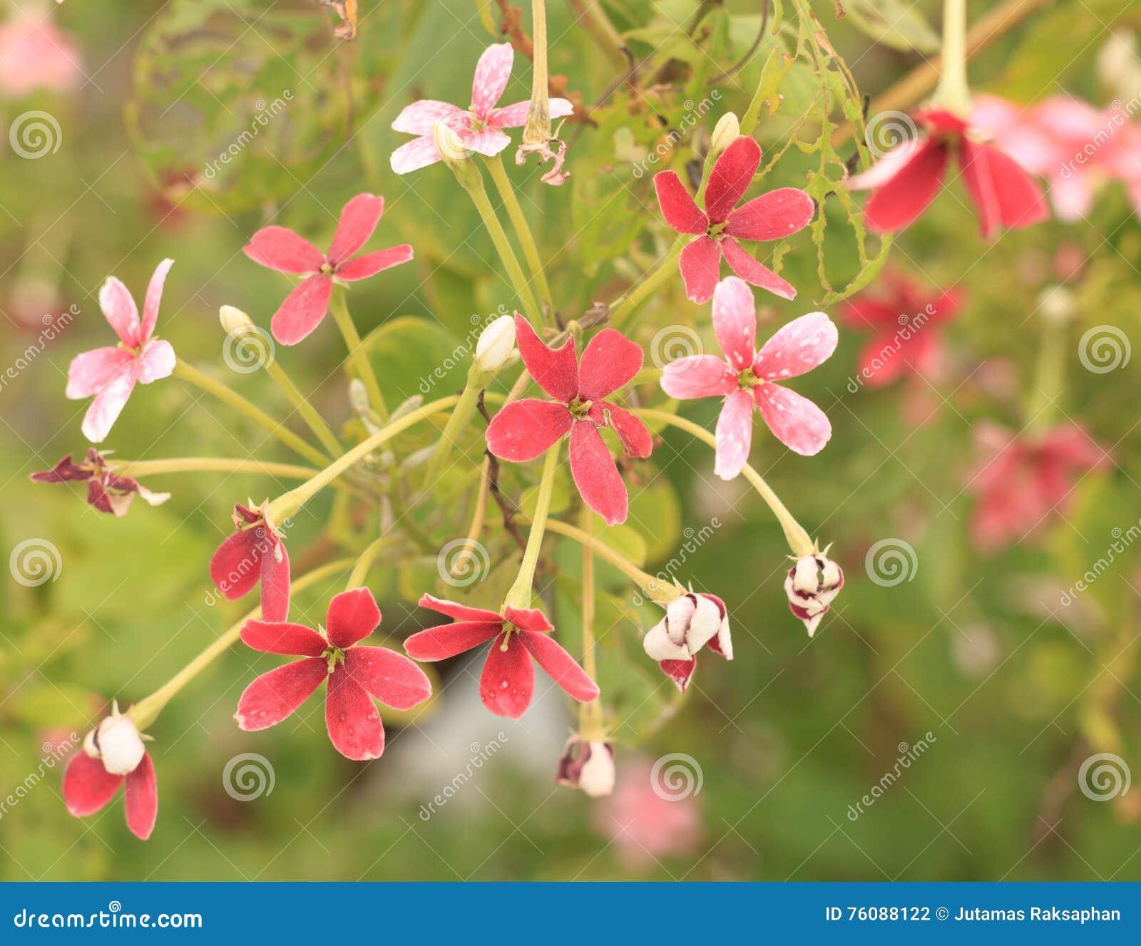 Fleurs rouges d usine de jade