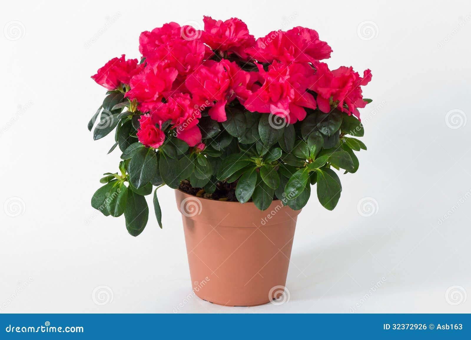 Fleurs rouges dans un pot image libre de droits image 32372926 - Un pot de fleur ...