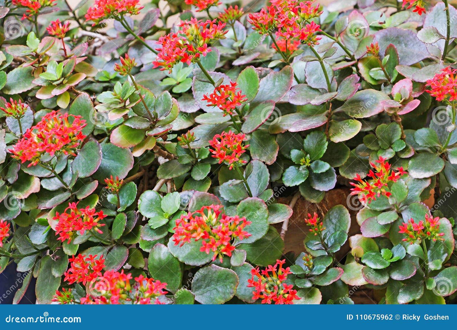 Fleurs Rouges De Fleur De Kalanchoe Dans Le Jardin Photo Stock