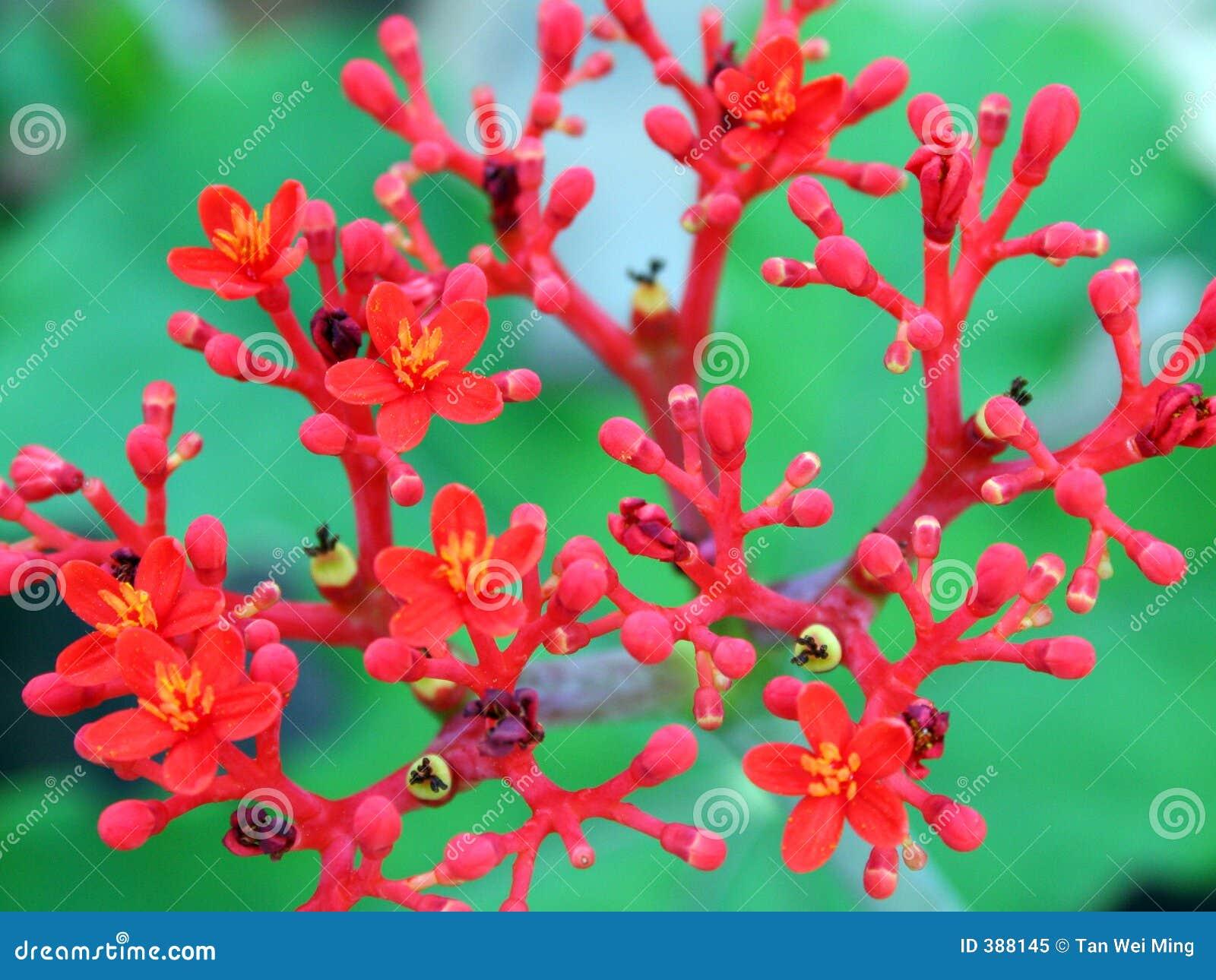 Fleurs rouges de floraison