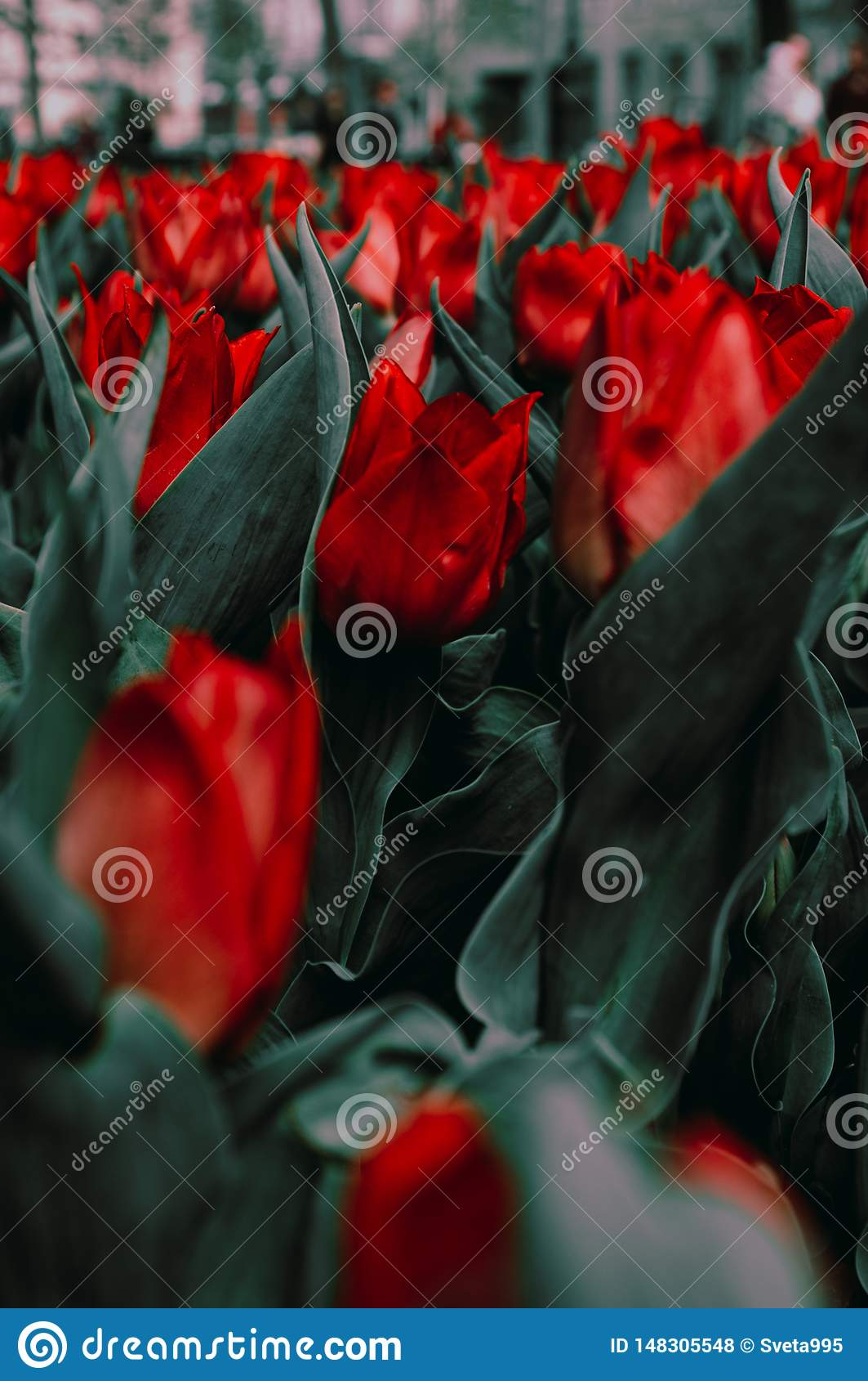 Fleurs rouges de ressort de Kharkiv