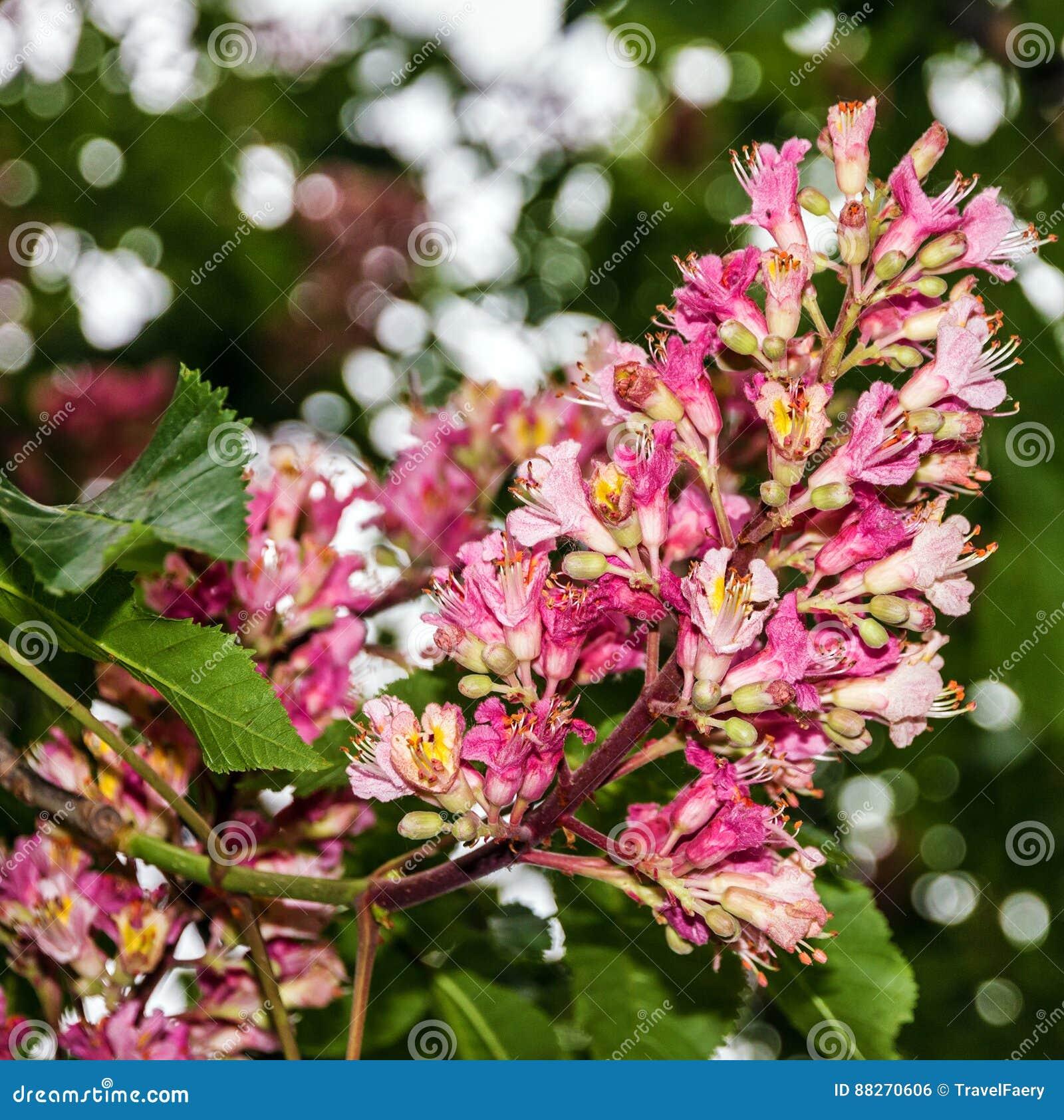 Fleurs rouges de temps d arbre de châtaigne au printemps