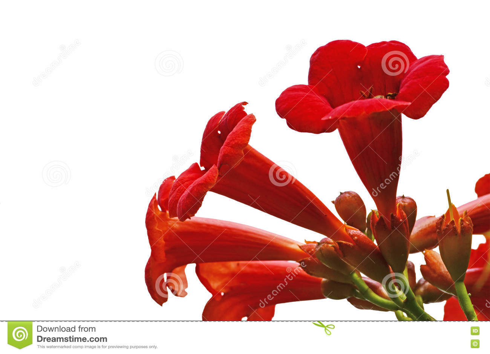 Fleurs rouges de vigne de grimpeur de plante grimpante de trompette radicans de campsis photo - Fleur en forme de trompette ...