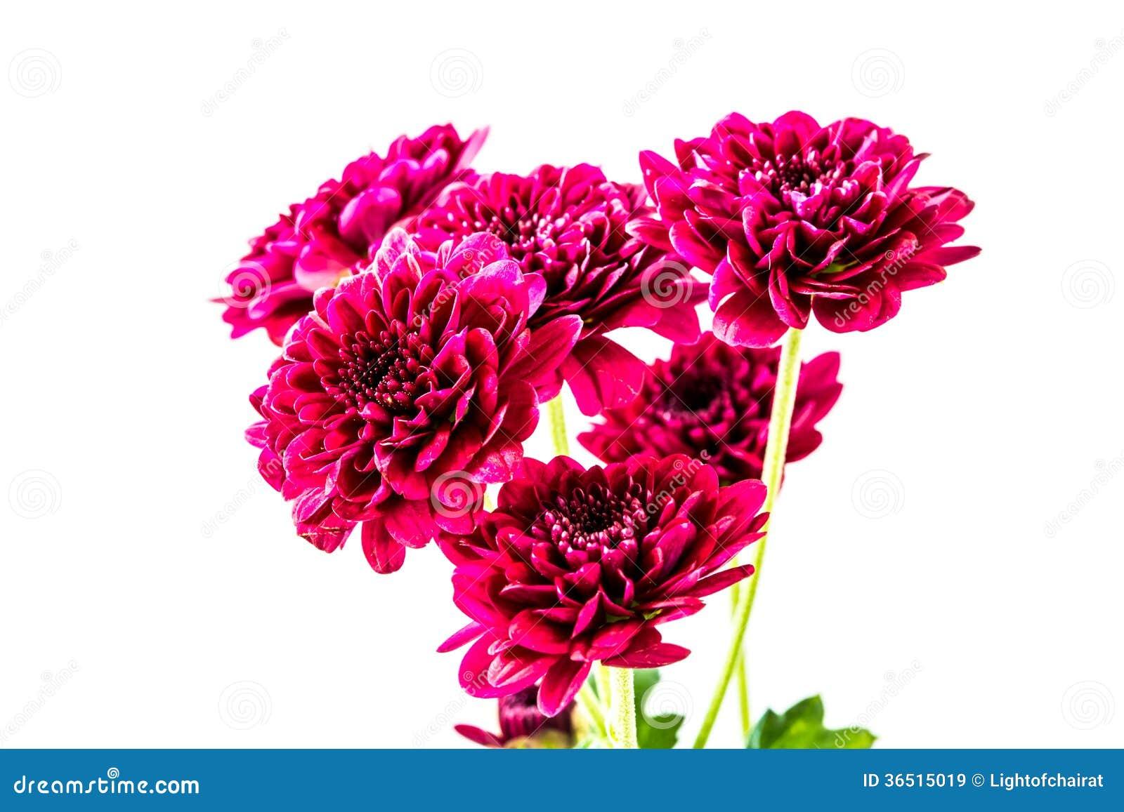 Fleurs rouges en gros plan de dahlia