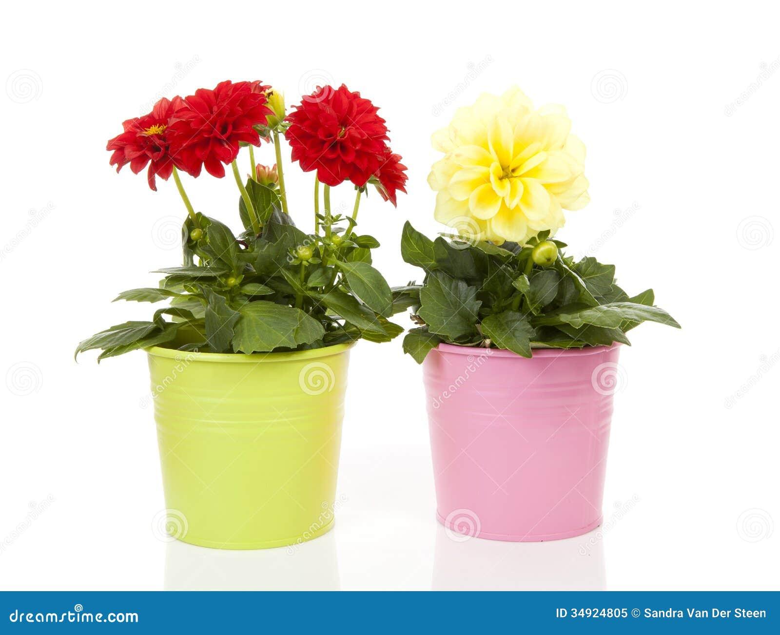 fleurs rouges et jaunes de dahlia dans le pot image stock. Black Bedroom Furniture Sets. Home Design Ideas