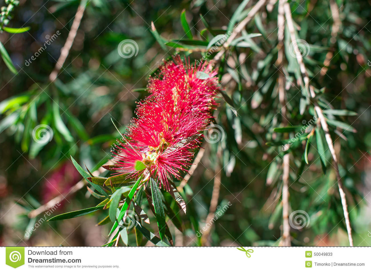 fleurs rouges exotiques de l 39 arbre de brosse de bouteille callistemon photo stock image. Black Bedroom Furniture Sets. Home Design Ideas