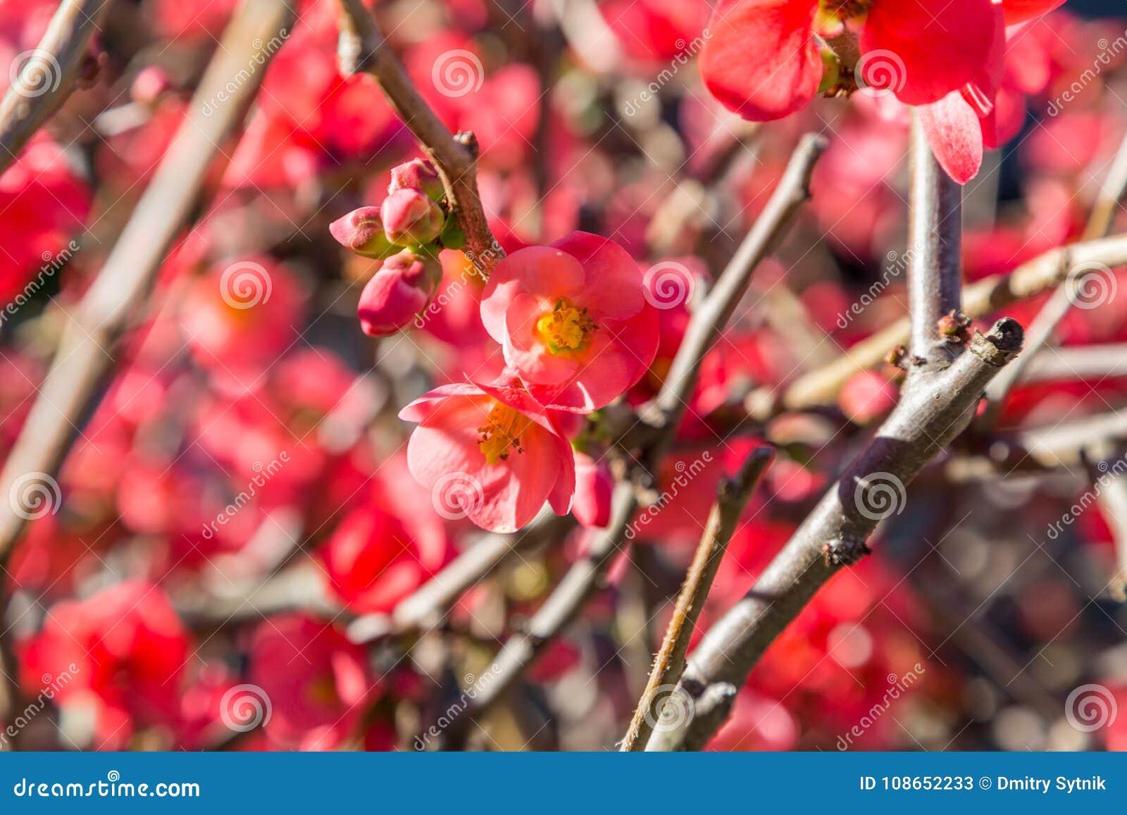 Fleurs Rouges Lumineuses Sur L Usine De Branche Image Stock Image