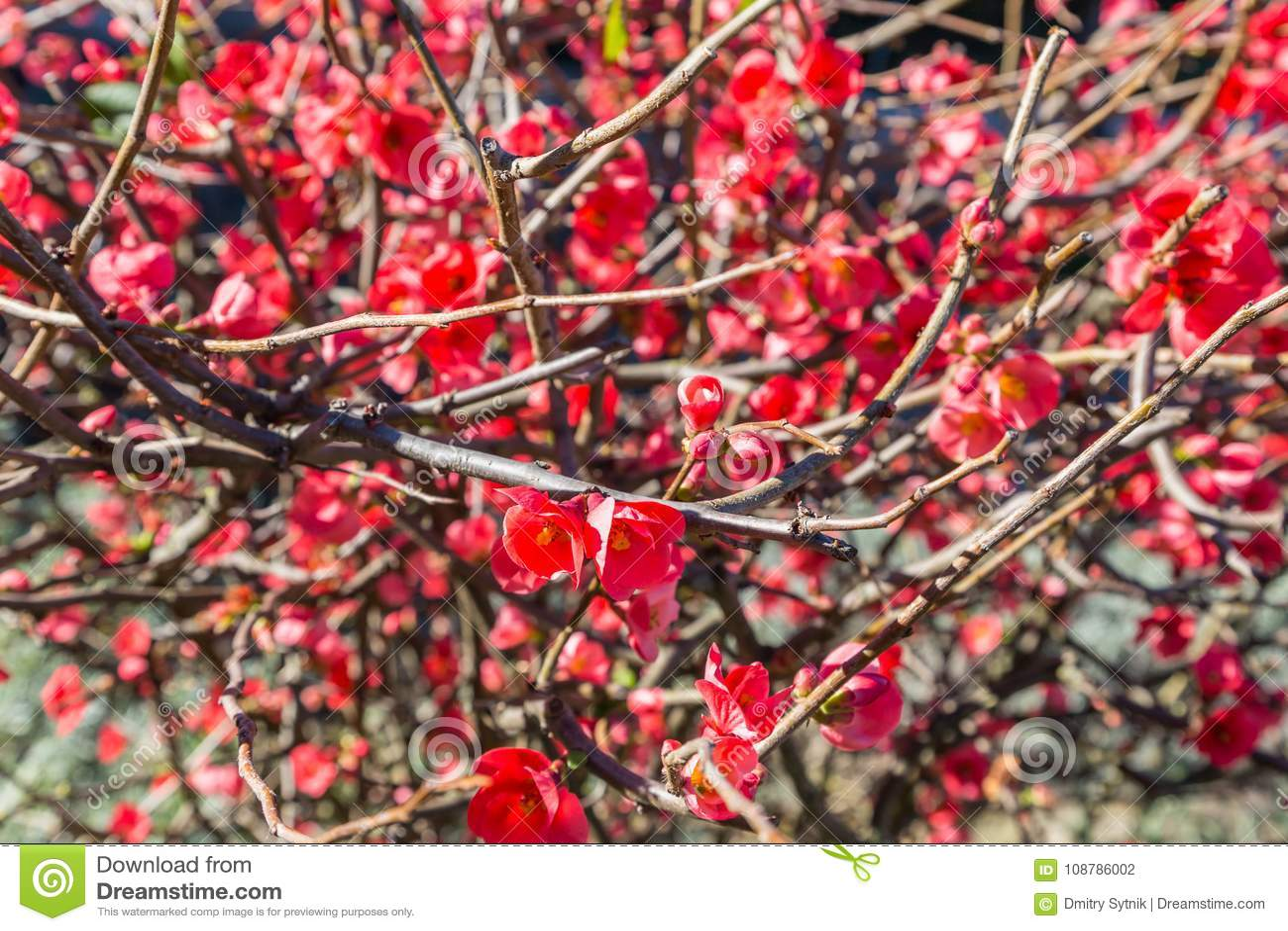 Fleurs Rouges Lumineuses Sur L Usine De Branche Photo Stock Image