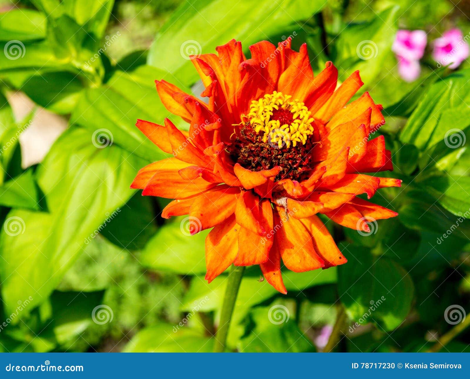 Fleurs Rouges, Oranges Et Jaunes De Zinnia Photo stock ...