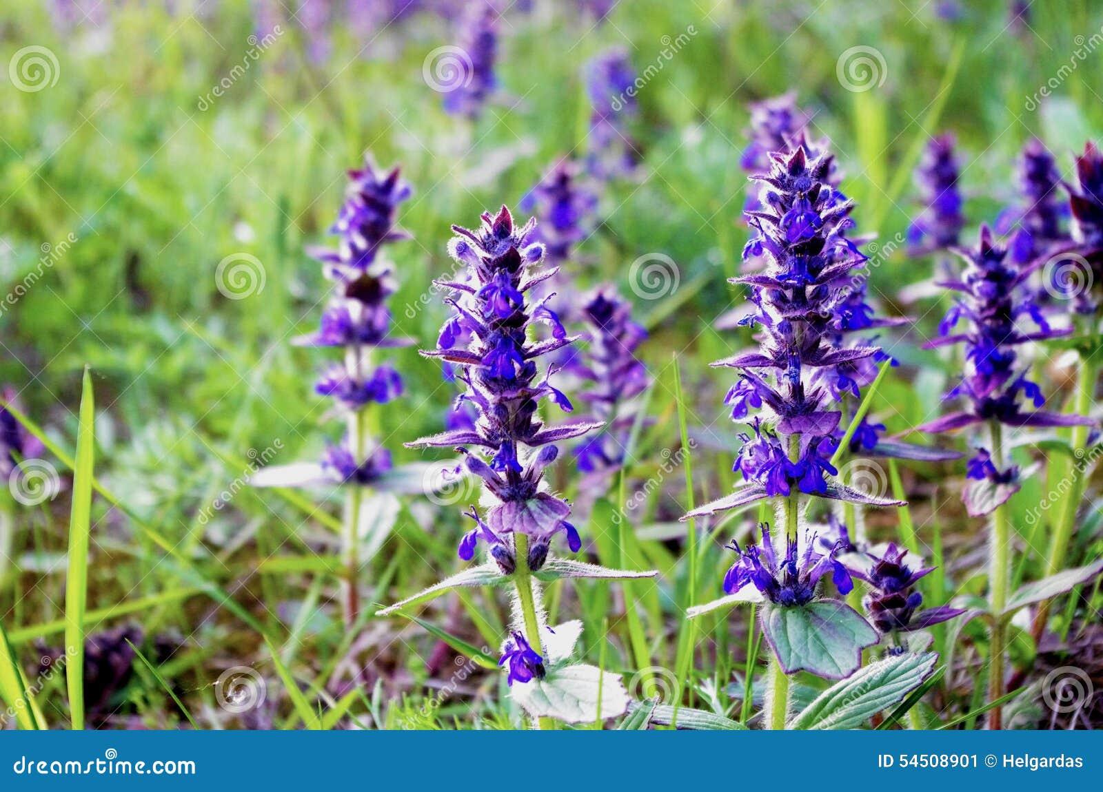 bleu fleurs ressort violet sauvage