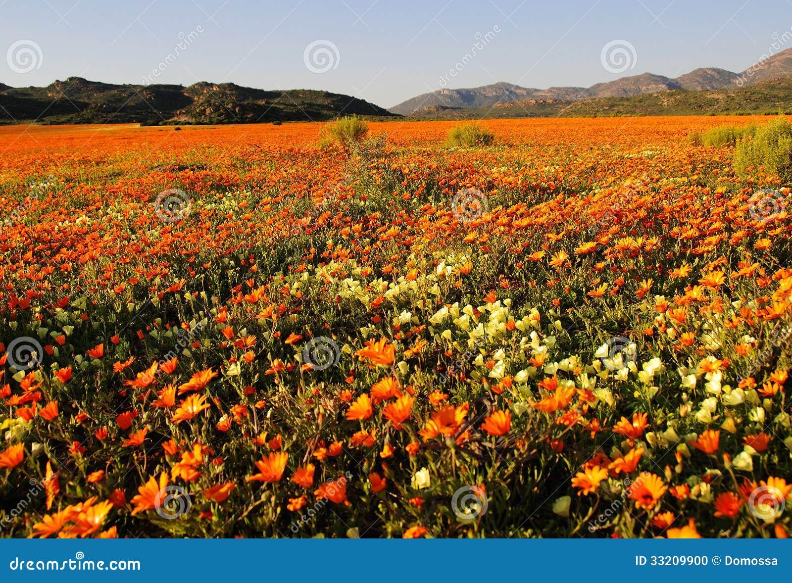 Fleurs Sauvages Dans Namaqualand Afrique Du Sud Photo Stock Image