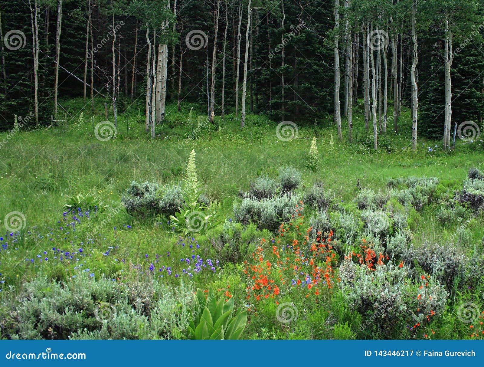 Fleurs sauvages dans une forêt de tremble