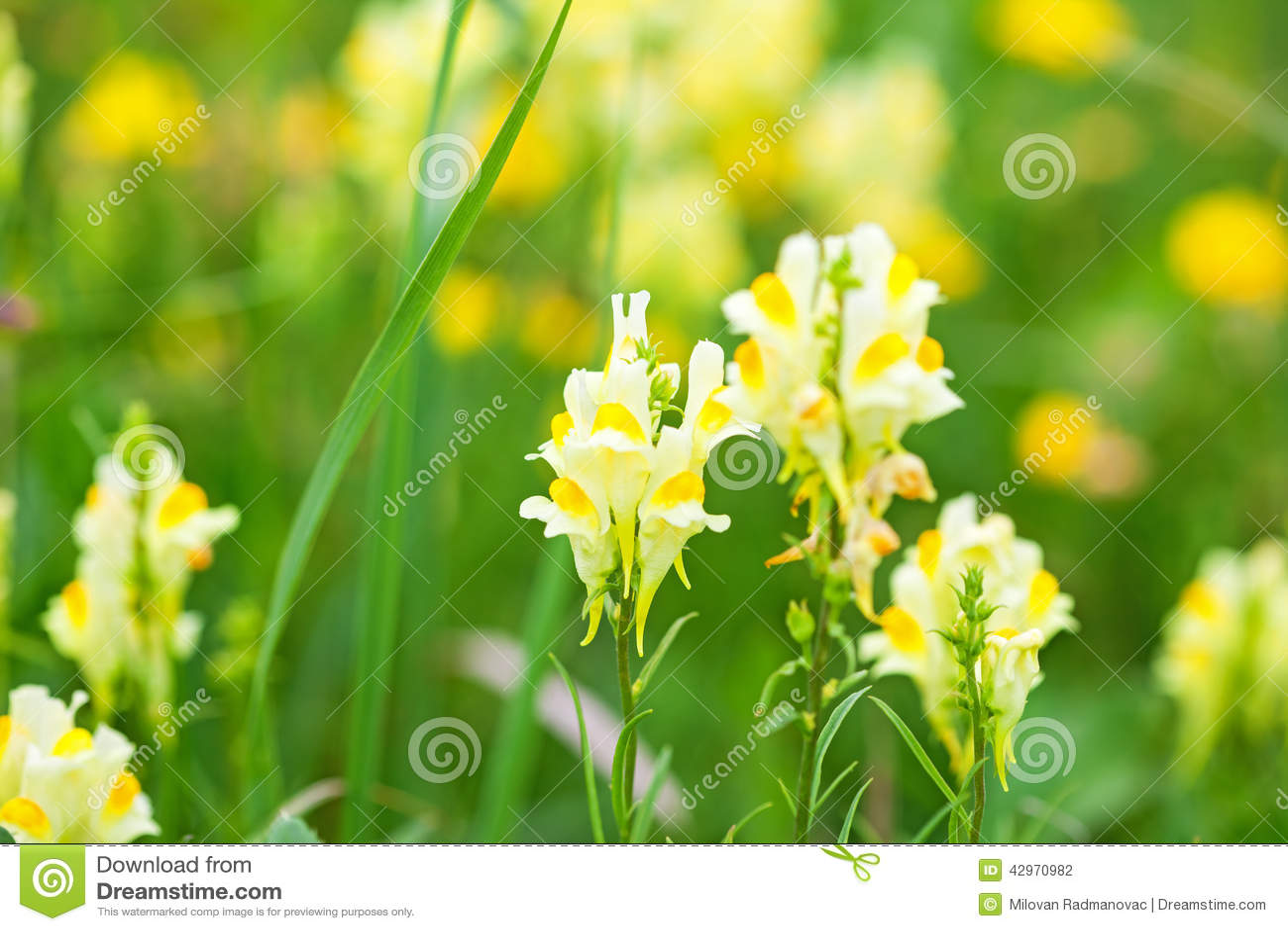 fleurs sauvages jaunes photo stock image du lame ressort 42970982. Black Bedroom Furniture Sets. Home Design Ideas