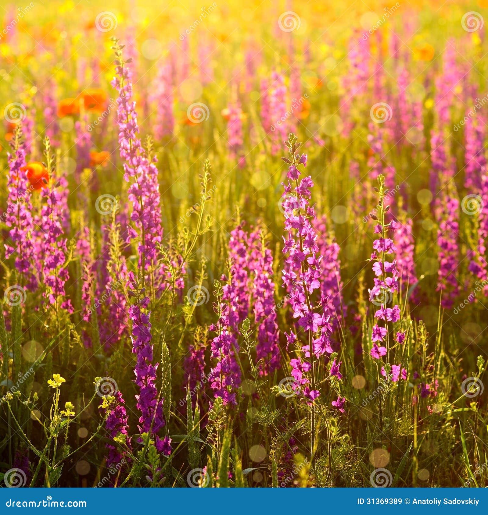 Bien connu Fleurs Sauvages Pourpres Images libres de droits - Image: 31369389 XE64