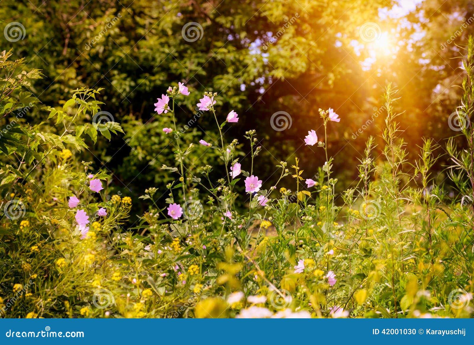 fleurs sauvages roses photo stock image du sunset soir e. Black Bedroom Furniture Sets. Home Design Ideas