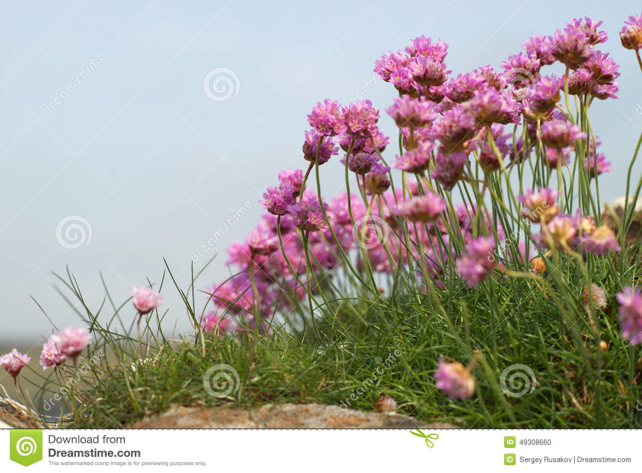 fleurs sauvages roses photo stock - image: 49308660