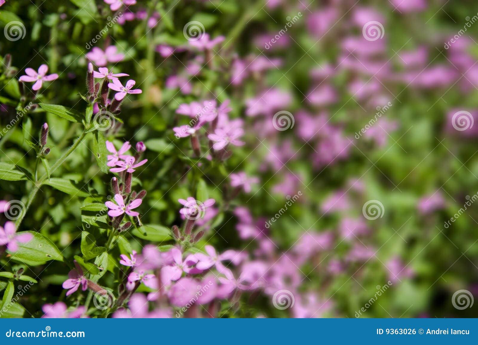 fleurs sauvages roses photo stock image du chaleur fleur. Black Bedroom Furniture Sets. Home Design Ideas