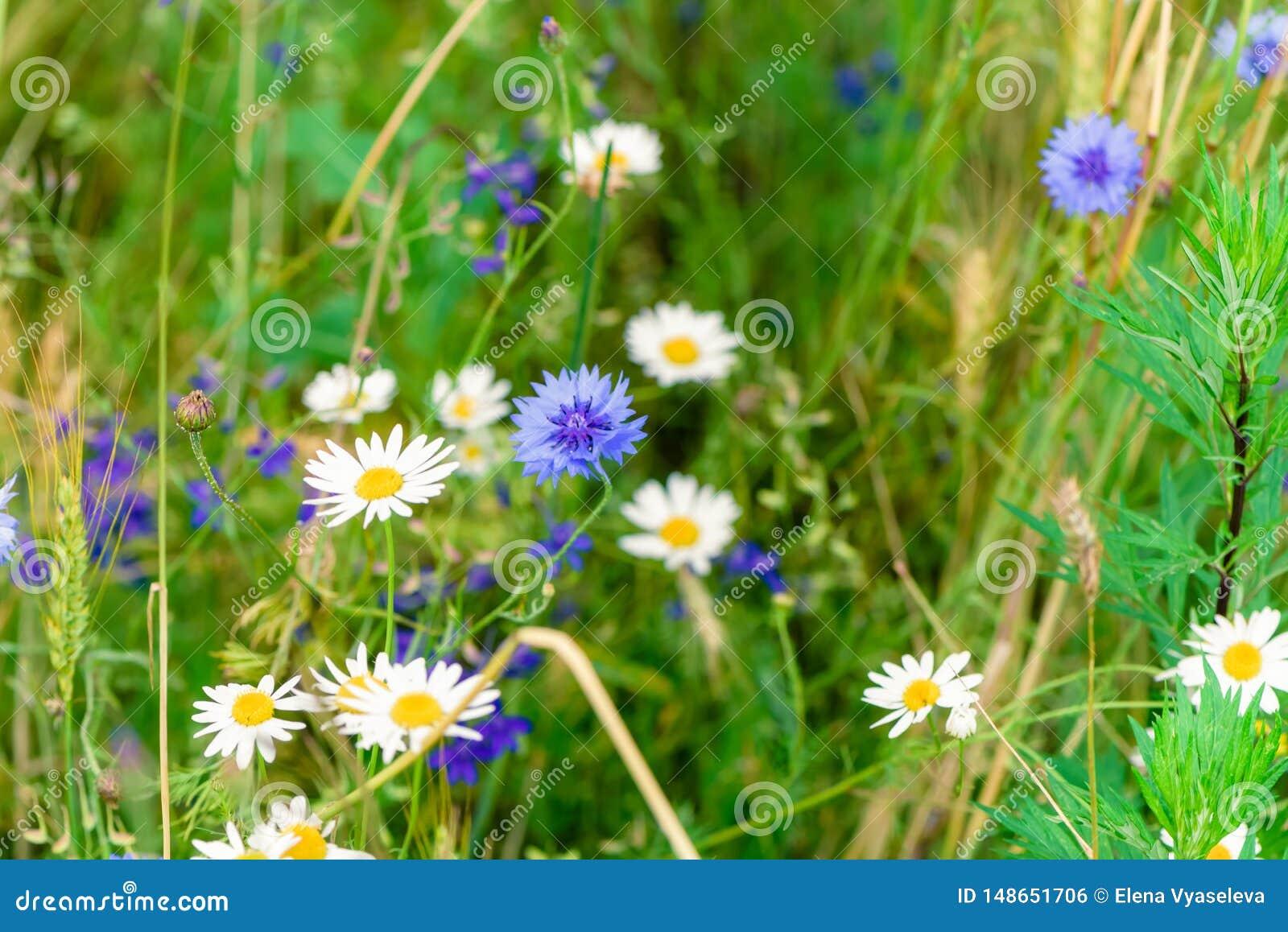 Fleurs sauvages sur le pr? Jour d ?t? sur le champ de l herbe Champ, paysage d ?t?, bleuets et camomilles russes