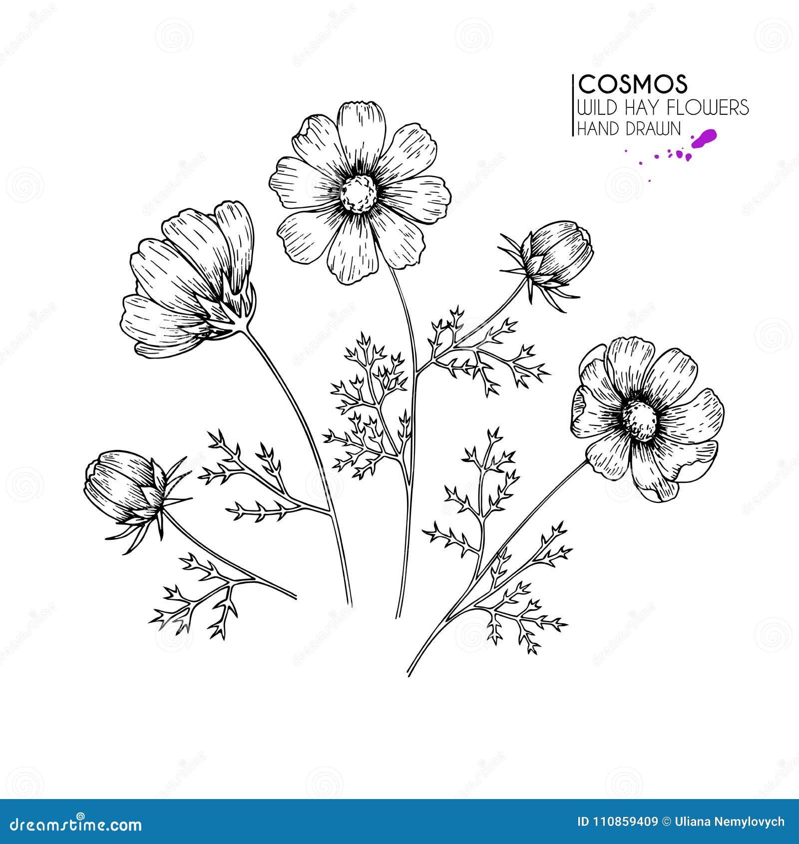 Fleurs sauvages tirées par la main de foin Cosmos ou fleur de cosmea Art gravé par vintage Illustration botanique Bon pour des co