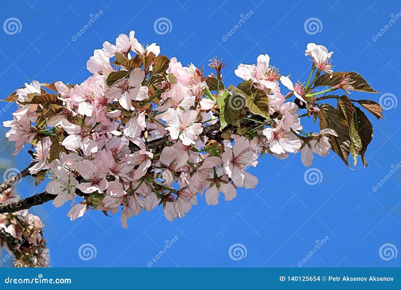Fleurs sensibles de Sakura sur un fond de ciel bleu