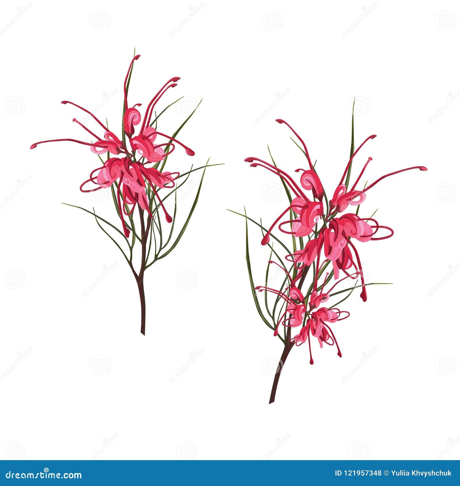 Fleurs sud-africaines indigènes - Protea rouge tropical exotique avec des feuilles de vert d isolement sur le fond blanc