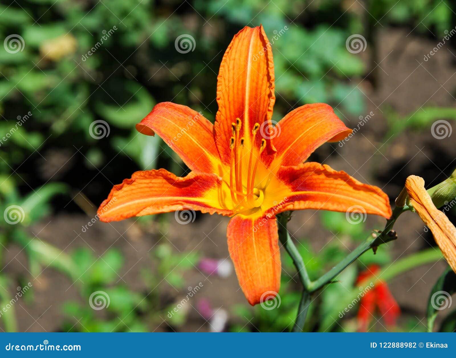 Fleurs sur le parterre Le lis tigré (lancifolium de Lilium ou