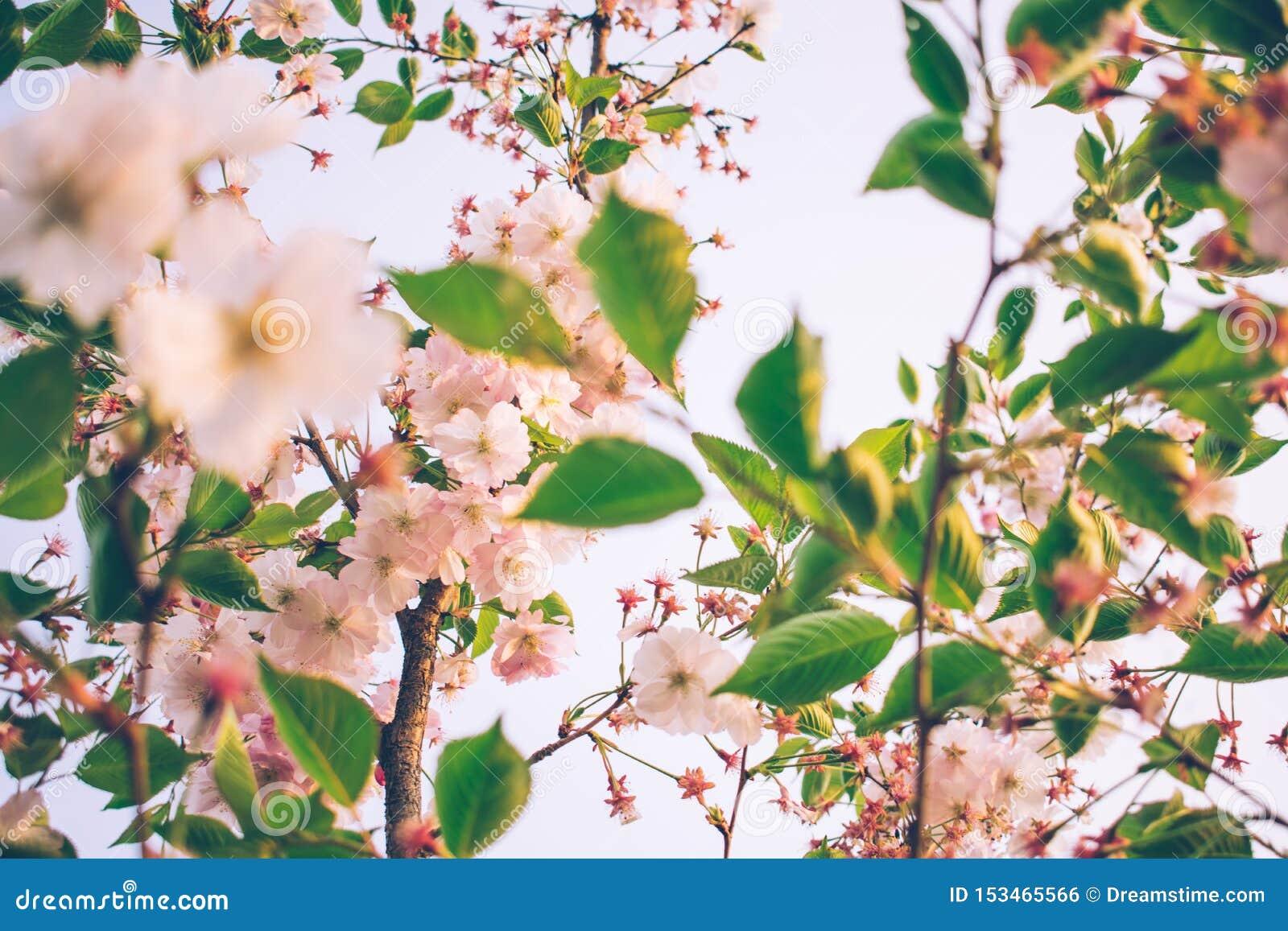 Fleurs tendres d abricotier au printemps