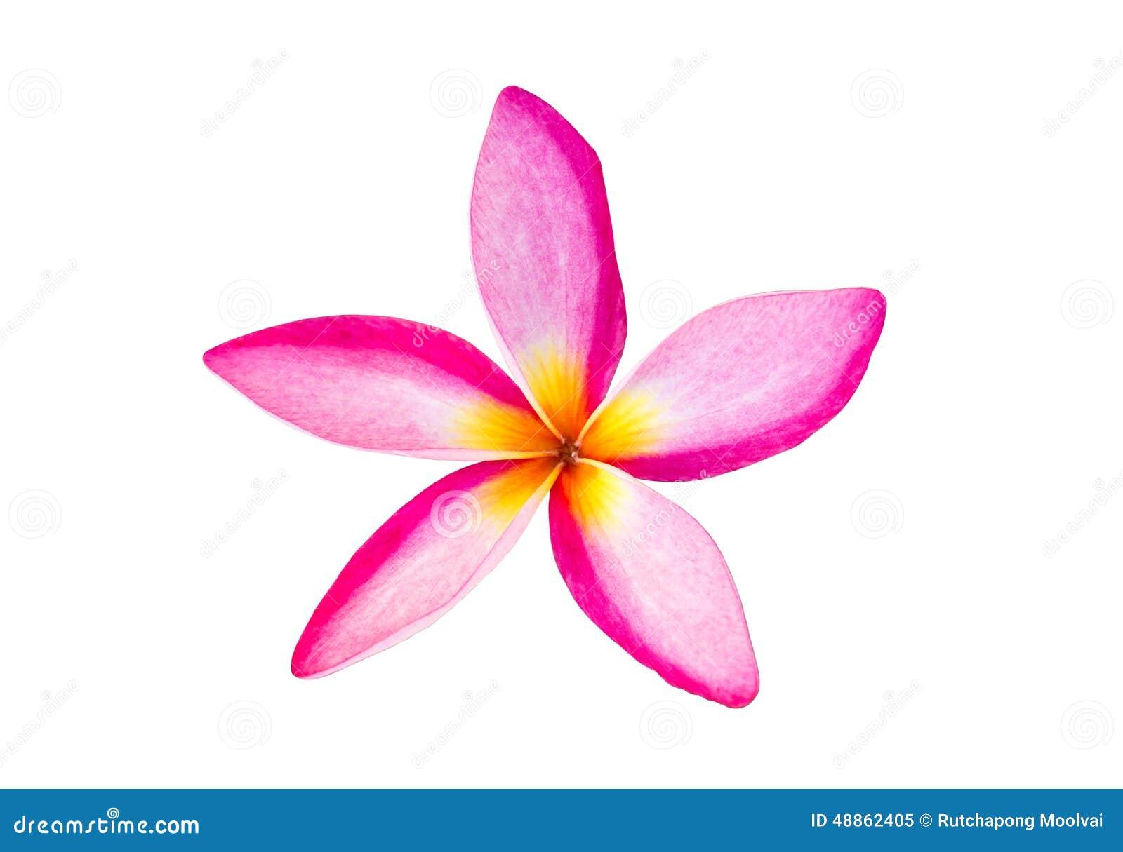 Fleurs tropicales de Frangipani sur le fond blanc