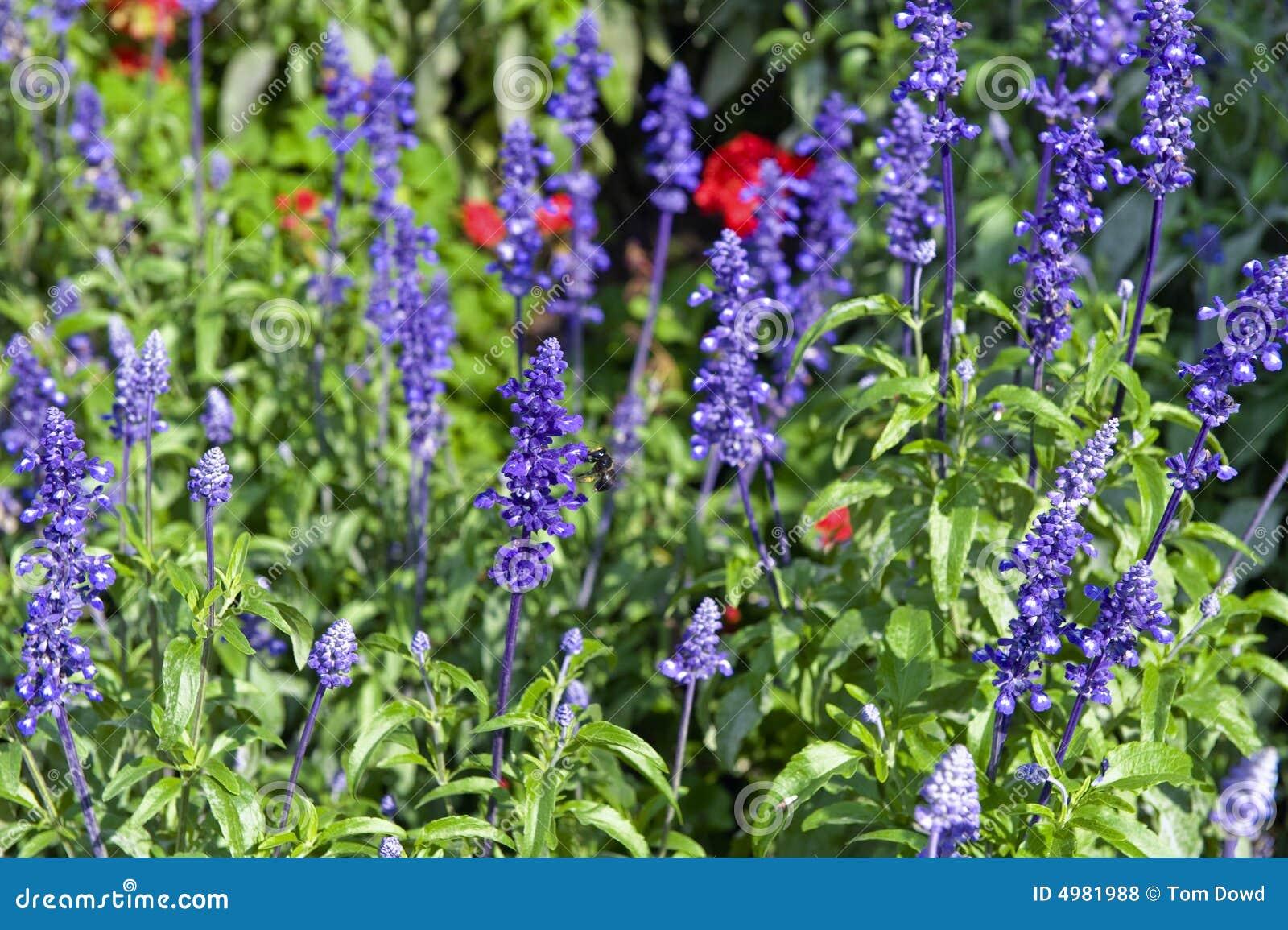 Fleurs violettes de jardin photos libres de droits image - Image fleur violette ...
