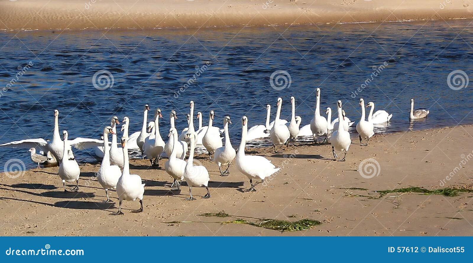 Download Fleuve de cygne photo stock. Image du nature, oiseaux, rassemblement - 57612