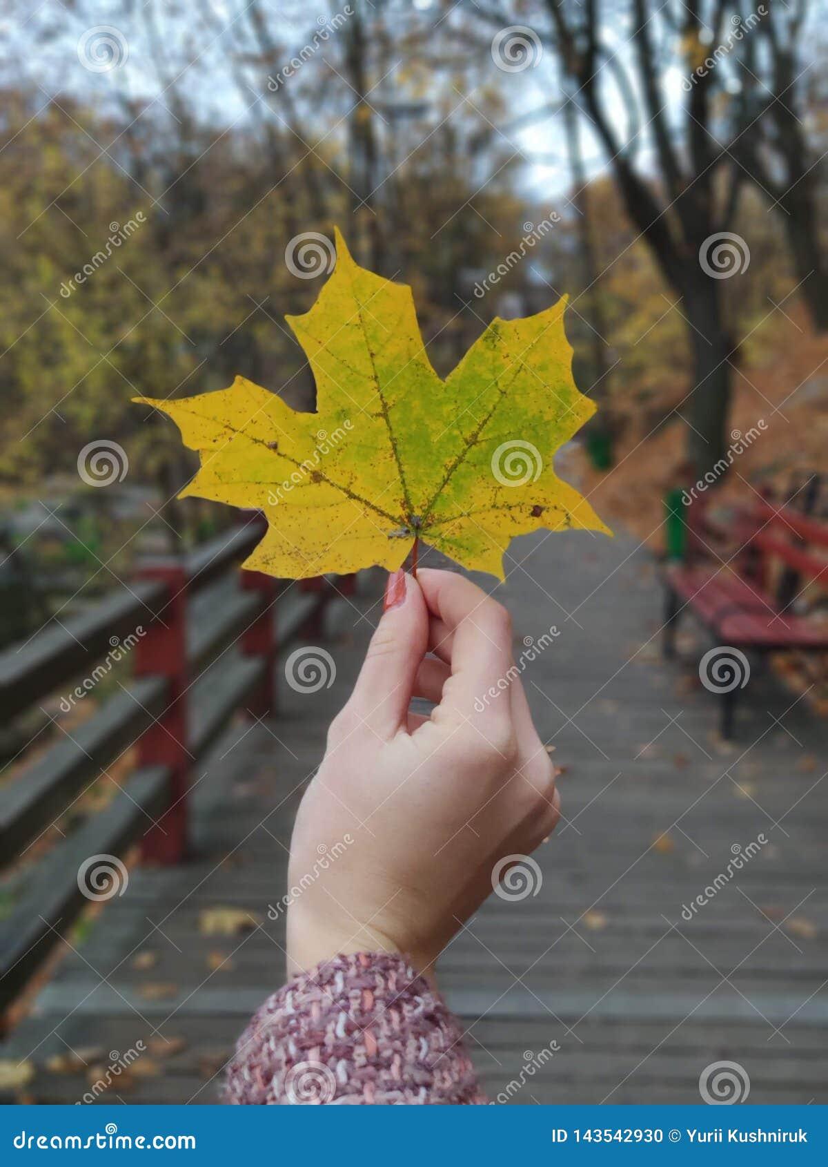 Flickan som rymmer den gula lönnlövet i hand i hösten, parkerar