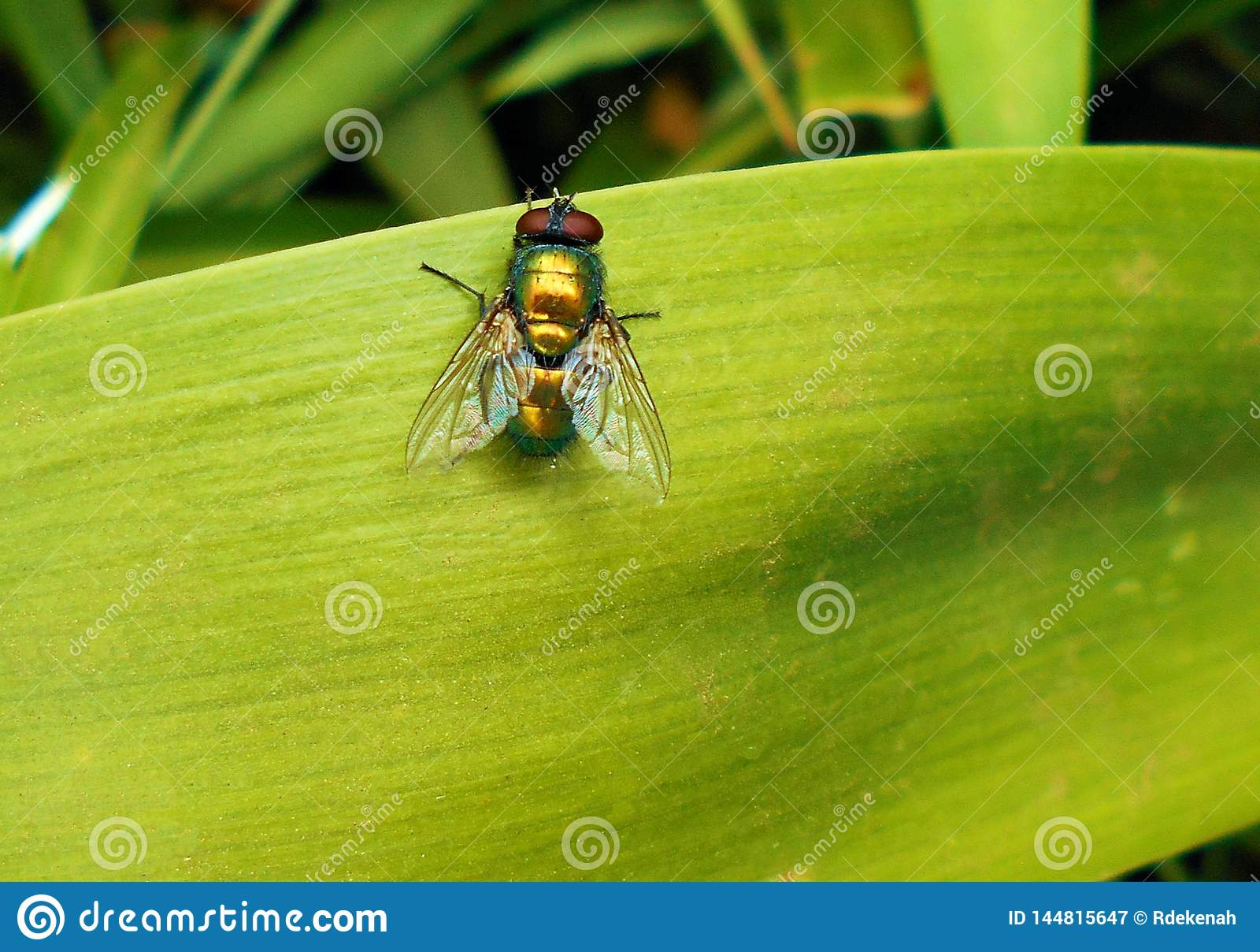 Fliege auf hellgr?nem Blatt