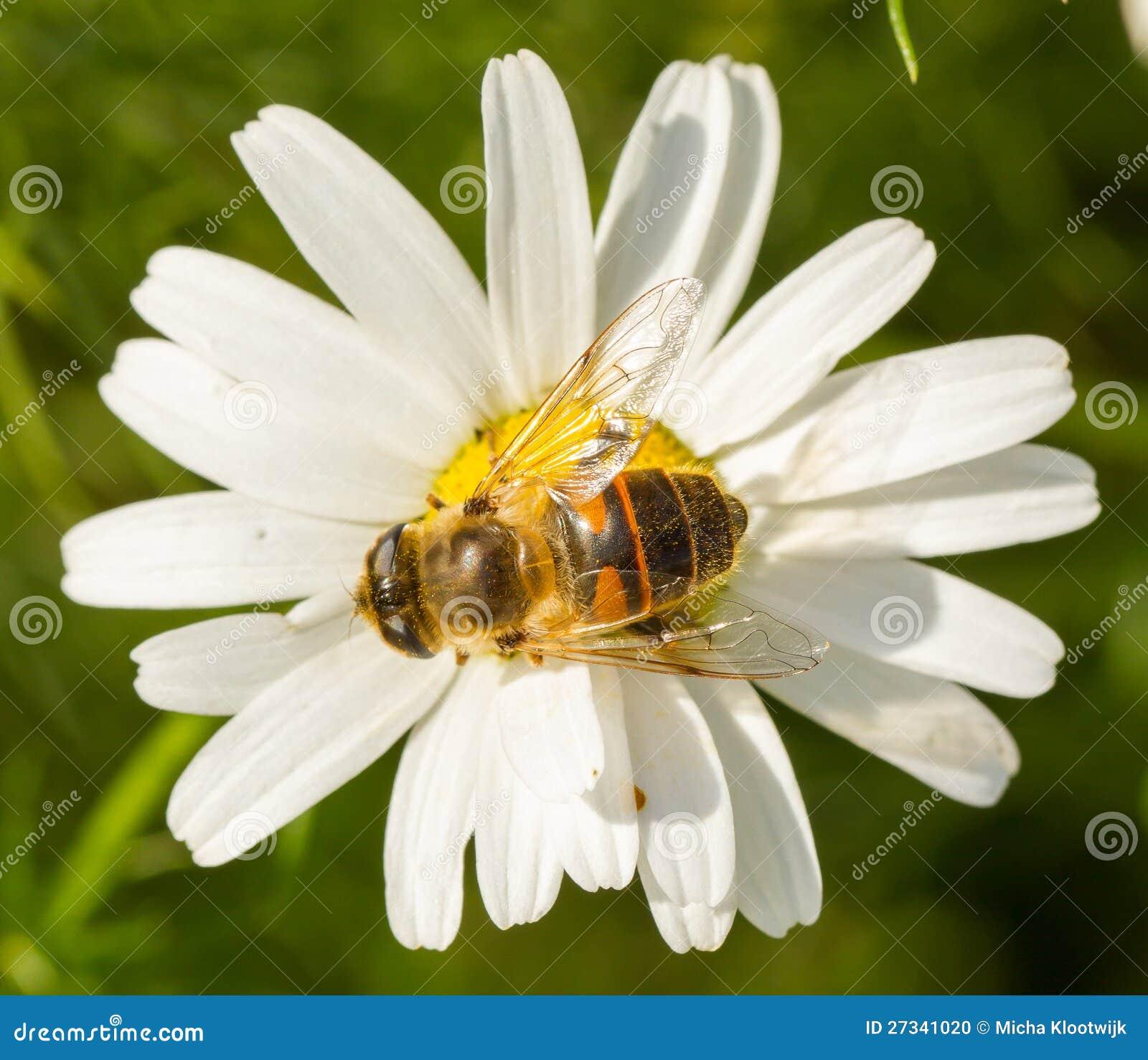 Fliegen sie trinkenden nektar auf einer wilden wei en for Fliegen in blumen