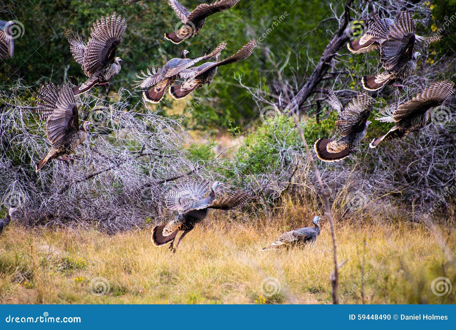 Fliegen Texas Turkeys