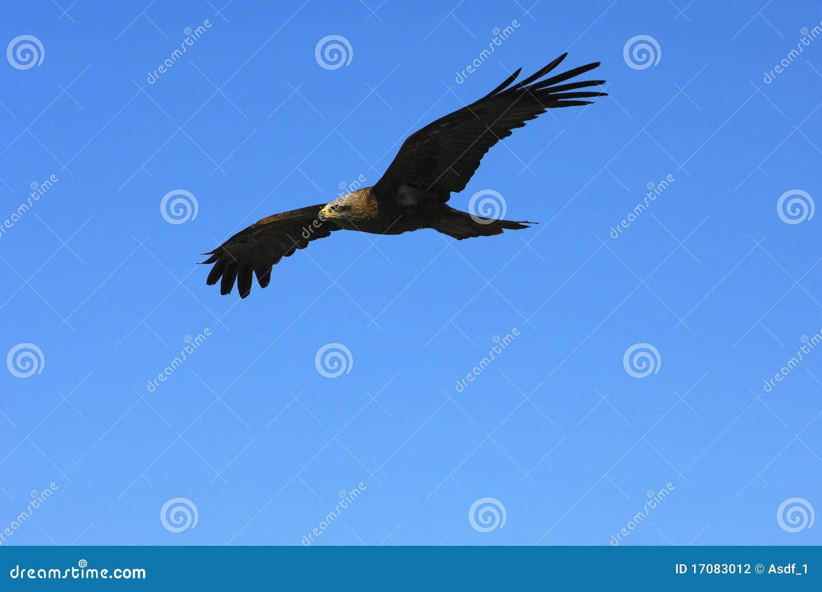 Fliegender goldener Adler