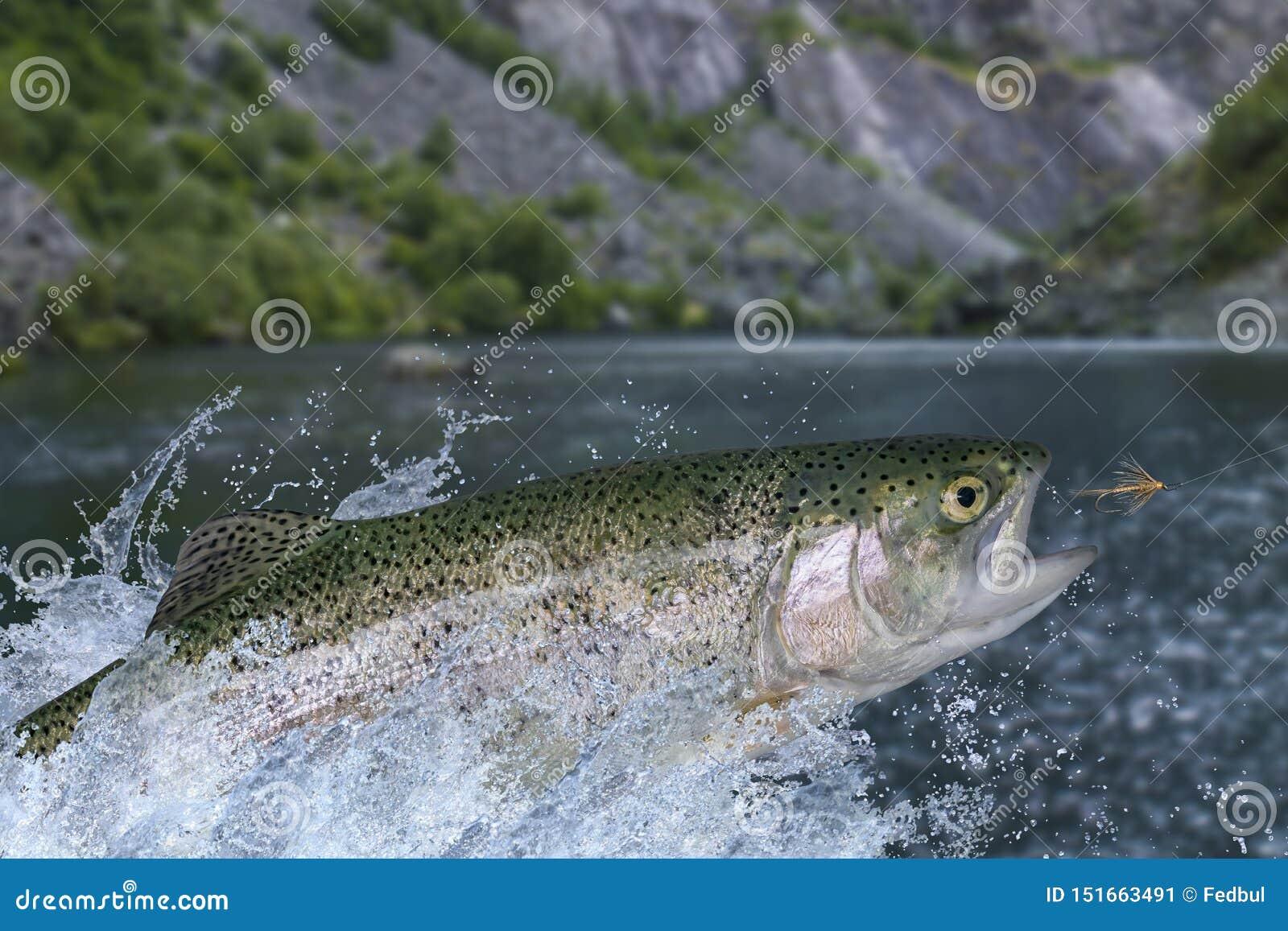Fliegenfischen im ruhigen Wasser Regenbogenforellefische, die für das Fangen des synthetischen Insekts mit dem Spritzen im Wasser