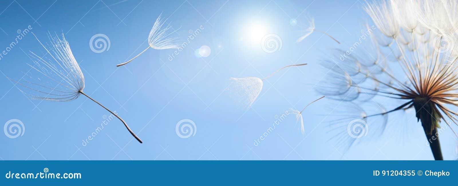 Fliegenlöwenzahnsamen auf einem blauen Hintergrund