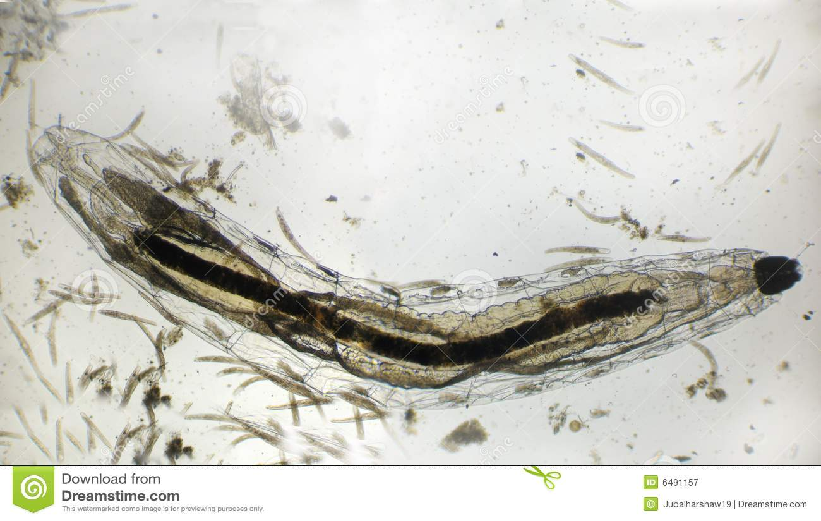 Fliegenlarven lizenzfreie stockfotografie bild 6491157 for Fliegen larve