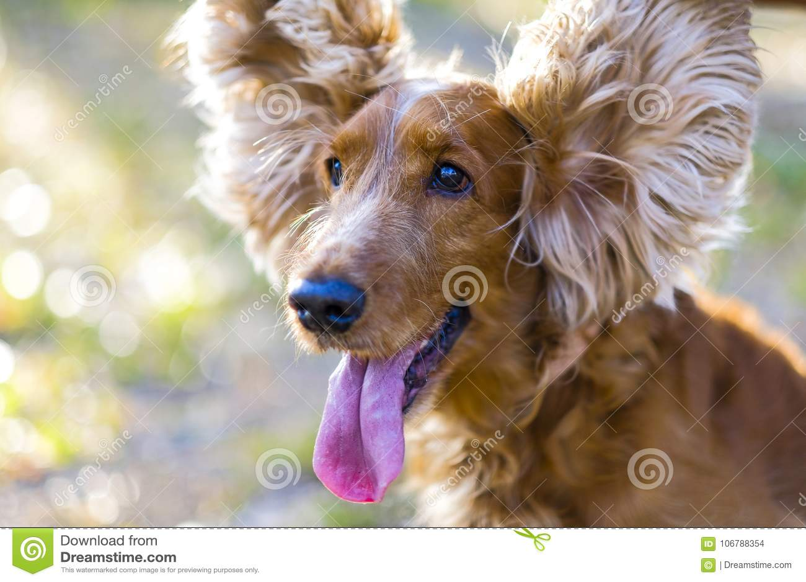 Flifhts de levantamento do cachorrinho de cocker spaniel do cão