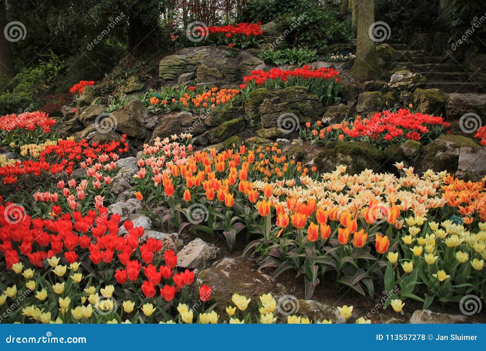 Rocks And Blooming Tulips In The Flower Garden Keukenhof In Spring ...