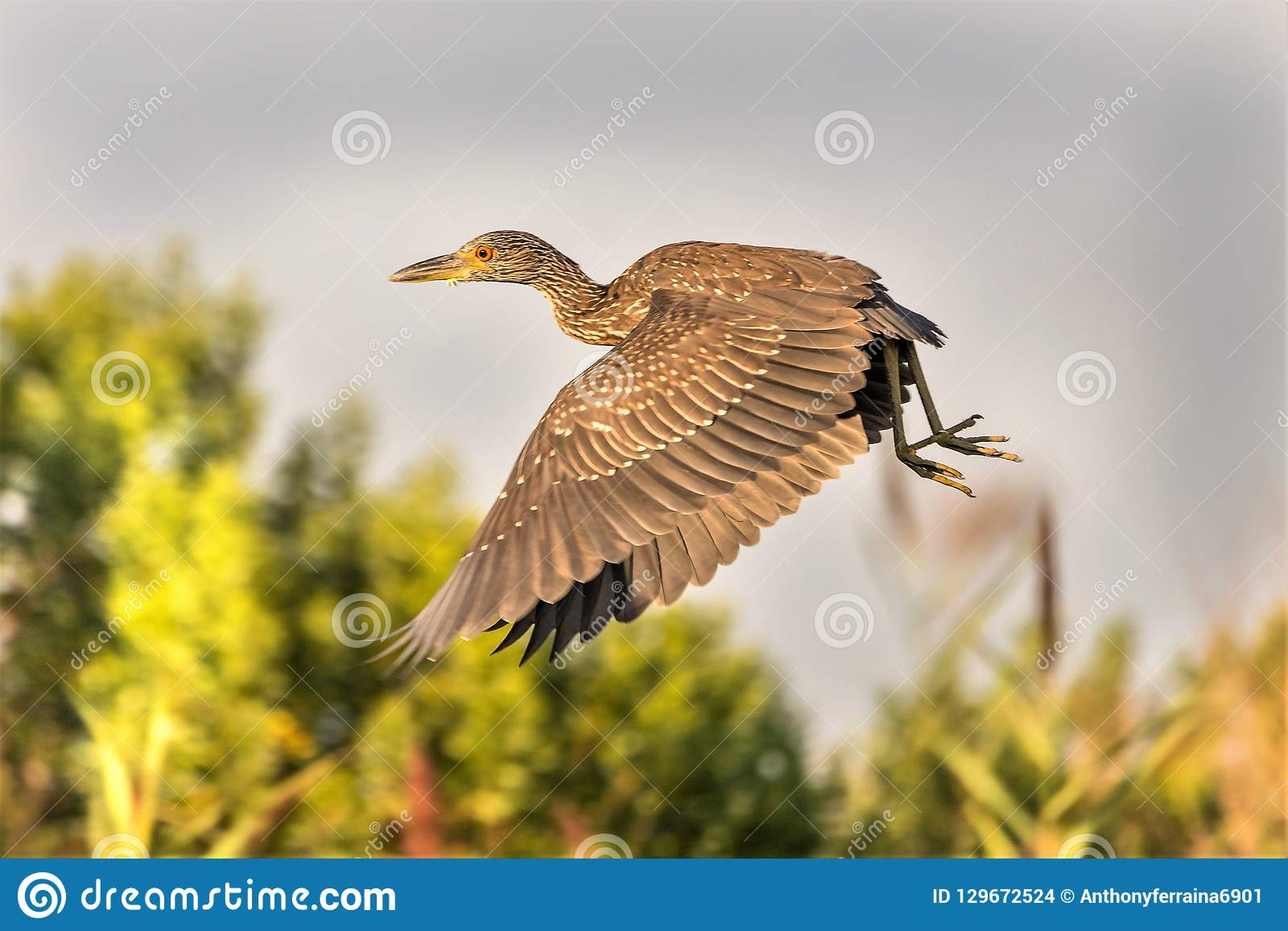 The Flight of the Yellow Crowned Night Heron